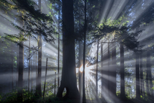 Sunrise through the fog in Del Norte State Park and Redwoods National Park in northern California