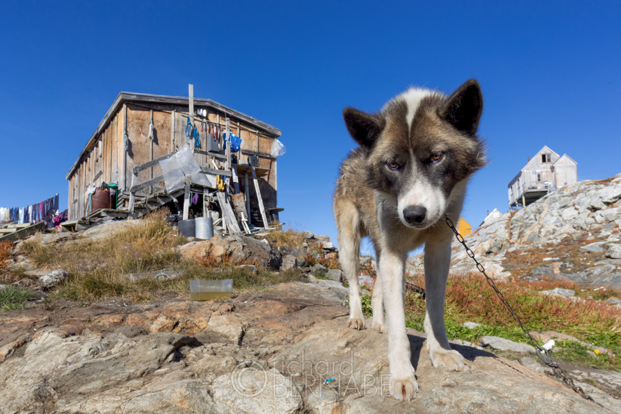 Husky in the village of Tiniteqilaq, Greenland