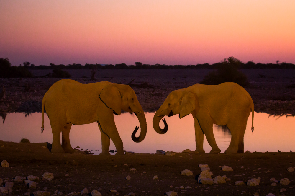 Two elephants at sunset, Etosha National Park, Namibia