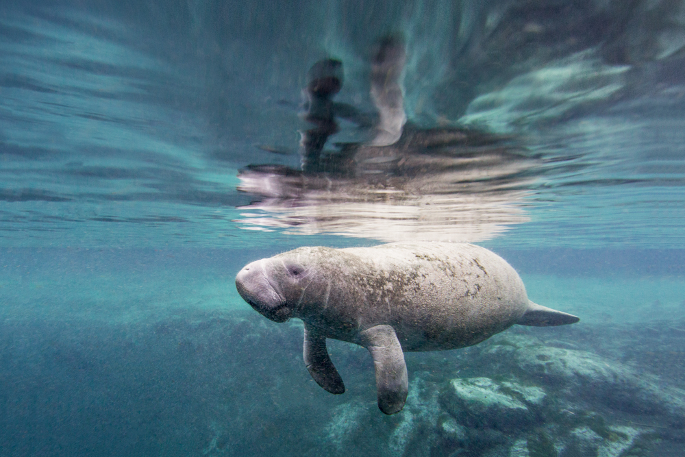 West Indian manatee in repose, Three Sisters Spring, Crystal River, Florida USA