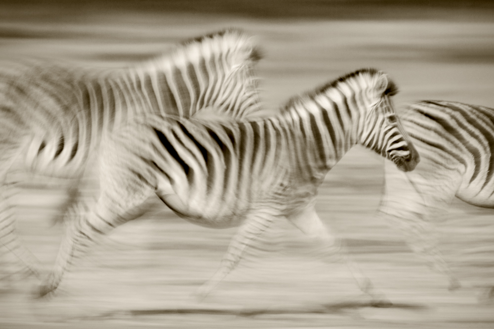 Zebras running across the Serengeti Plains, Serengeti National Park, Tanzania