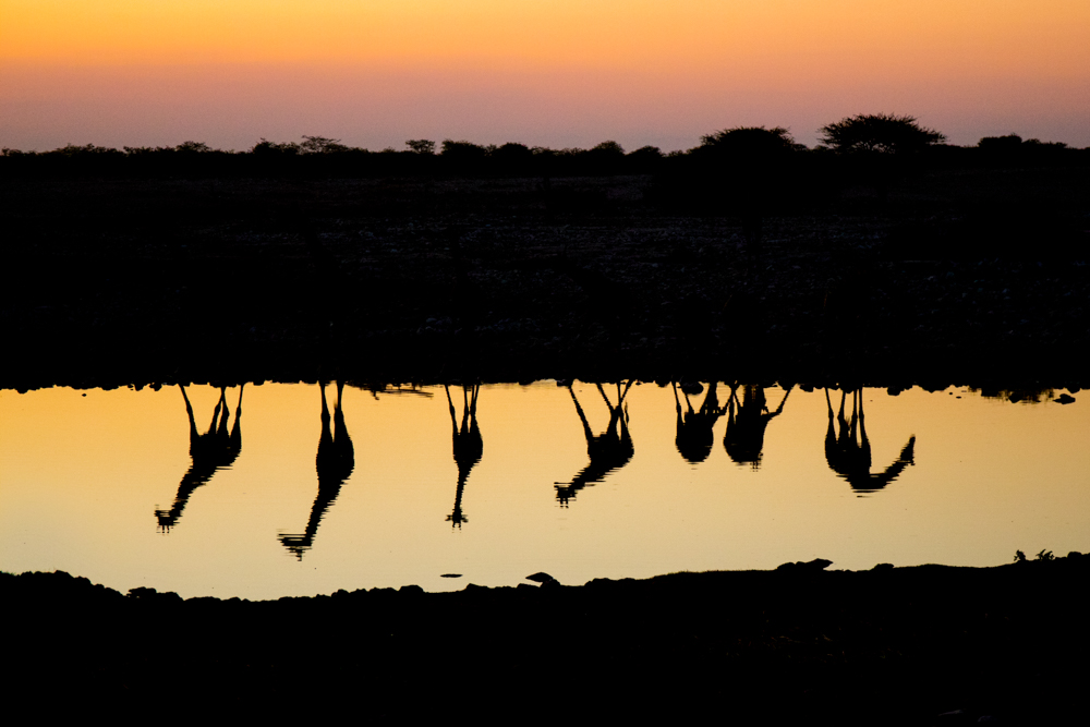 Giraffes reflected in sunset light, Etosha National Park, Namibia