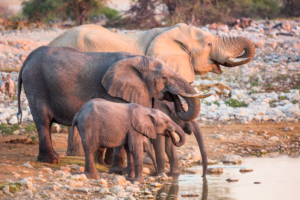 A family of African elephants at a water hole, Etosha National Park, Namibia