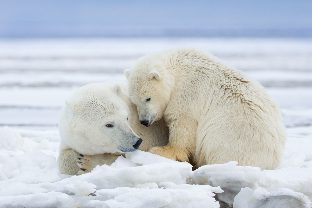 Polar bears in the Arctic National Wildlife Refuge, Alaska USA