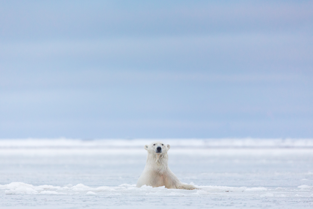 A Polar bear emerges above the ice, Barter Island, Arctic National Wildlife Refuge, Alaska