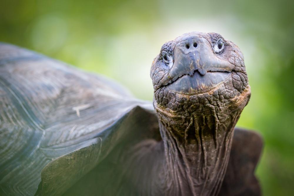 Galápagos giant tortoise (Chelonoidis nigra) on Santa Cruz Island, Galápagos Archipelago, Ecuador