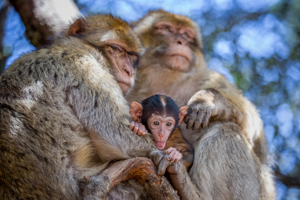 Barbary macaque family (Macaca sylvanus) in the Middle Atlas Mountains, Azrou National Park, Morocco